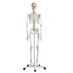"TEACHING SKELETON ""Oscar"""