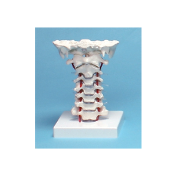 Cervical Vertebrae + support