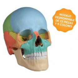 SKULL DIDACTIC VERSION